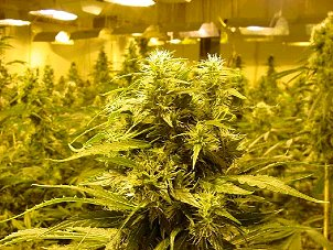 Wildomar, CA. Marijuana Growers Insurance